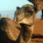 w_kameel